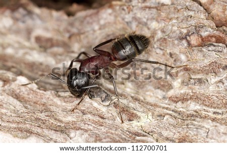 Macro photo of a Carpenter ant, Camponotus herculeanus, this ant is a major pest on houses
