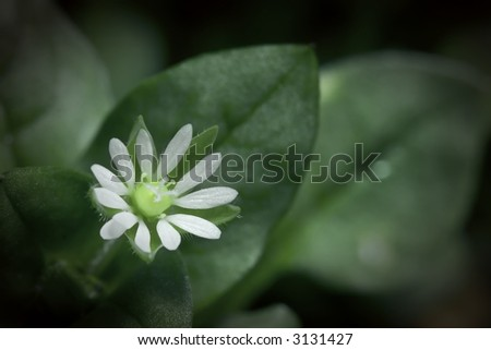 Macro photo of a Chickweed flower - stock photo