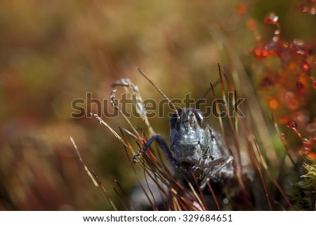 Macro photo of a grasshopper in grass with a shallow depth of field and fall colors. - stock photo