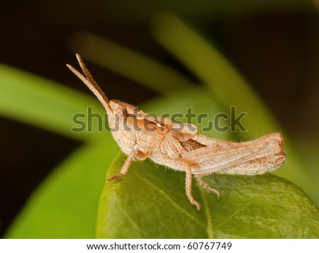 Macro photo of a Grasshopper seen from the side, on a green Leaf