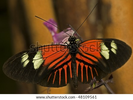 Macro photo of a Postman Butterfly, (Heliconius melpomene). - stock photo