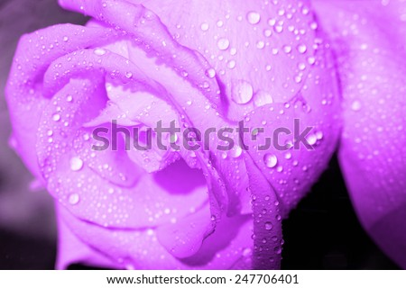 Macro photo of a rose with water droplets - stock photo