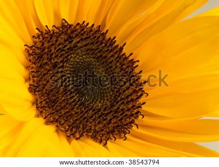 Macro photo of a sunflower, binomial name is Helianthus annuus. - stock photo
