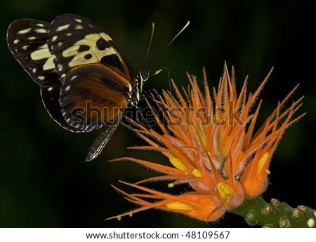 Macro photo of a Tiger Longwing Butterfly, Heliconius hecale. - stock photo
