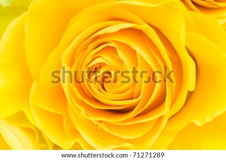 Macro photo of a yellow rose - stock photo