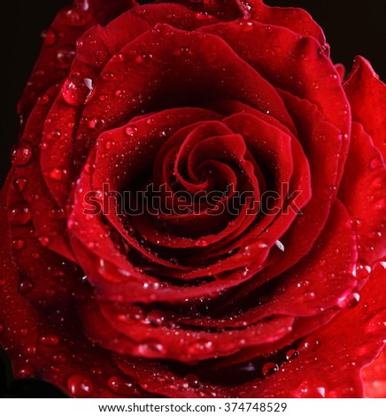 Macro photo of beautiful red rose with water drops