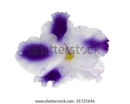 macro photo of blue and white violet isolated flower