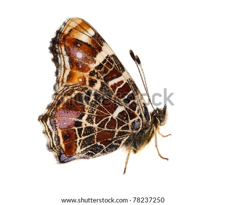 macro photo of dark red butterfly isolated on white background - stock photo