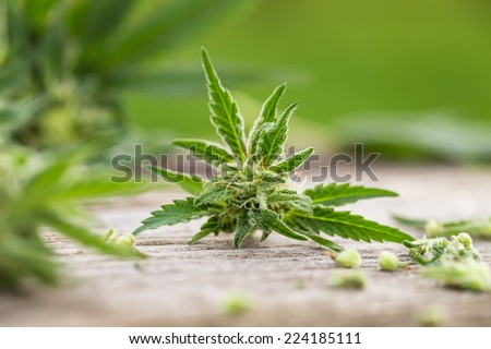 Macro photo of fresh marijuana plant bud with crystals on grunge wooden desk whit green background. Selective focus. Color toned image. - stock photo