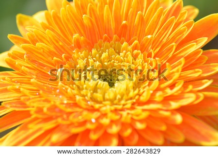 Macro photo of gerbera flower , floral background