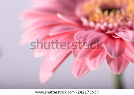 Macro photo of gerbera flower with water drop. floral background - stock photo