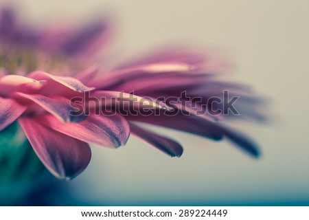 Macro photo of gerbera flower with water drop. floral background