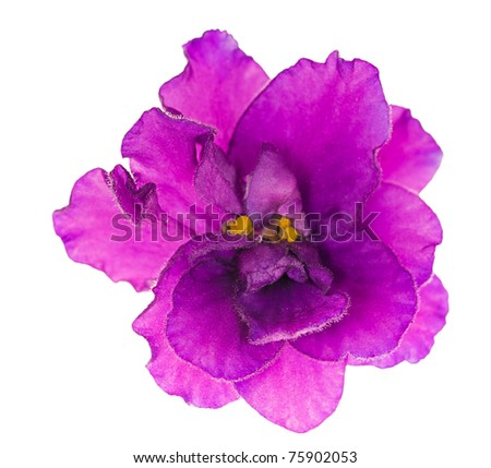 macro photo of lilac violet isolated flower - stock photo