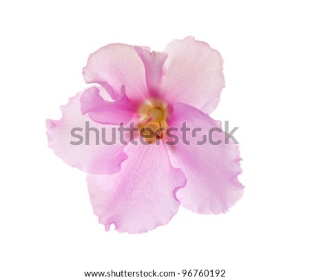 macro photo of pink violet isolated flower - stock photo