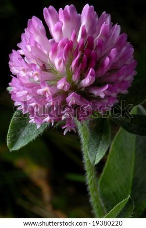 Macro photo of Purple Clover - Trifolium pratense - stock photo