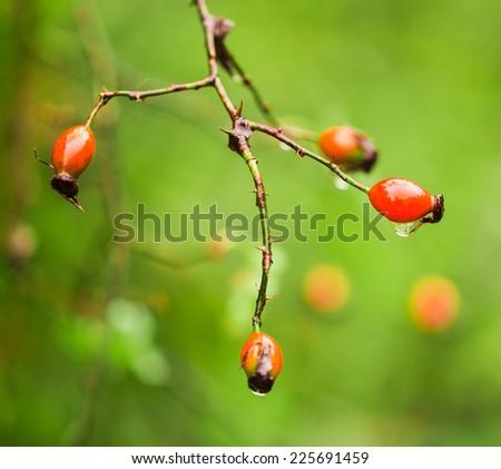Macro photo of rose hips with raindrops. - stock photo
