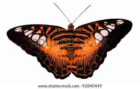 macro photo of tiger butterfly isolated on white background - stock photo