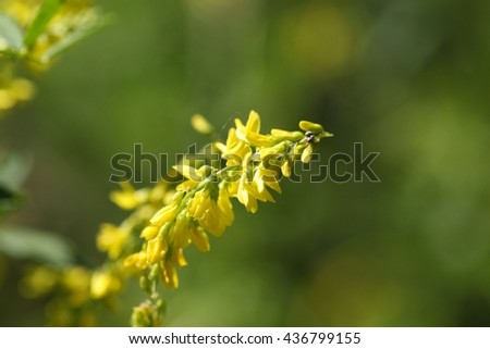 Macro photo of Yellow Sweet Clover flowers (Melilotus officinalis). - stock photo