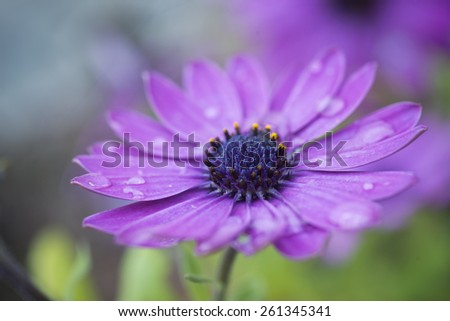 Macro photography of beautiful purple daisy, blue center with pollen - stock photo