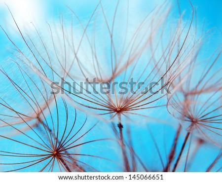 macro photography of dandelion seeds and blue sky - stock photo