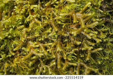 Macro photography of Green Moss - stock photo