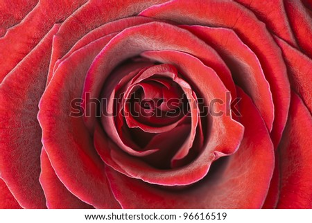 Macro photography of rose flower, romantic motive