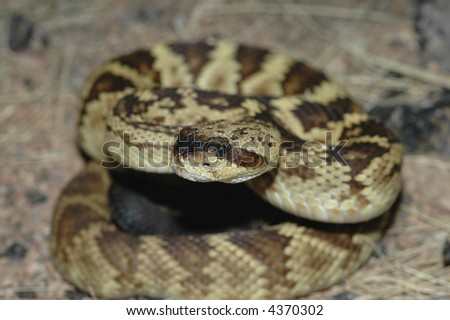 Macro photography of the head of a black-tailed rattlesnake. - stock photo