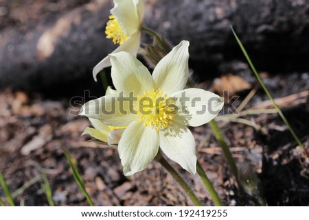 Macro photography, white disclosed snowdrops with insects. Pine forest near the town of Angarsk, Irkutsk region in Eastern Siberia. Spring. Sunny day with clouds in the sky.  - stock photo