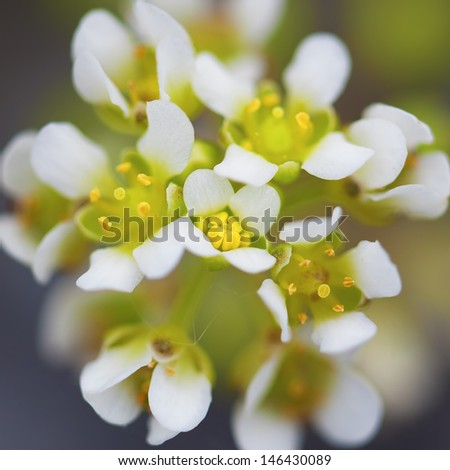 Macro picture of a white yarrow flower - shallow DOF - stock photo
