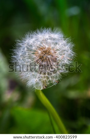 Macro picture of dandelion clock (Taraxacum officinale)