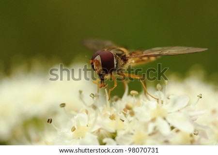 Macro picture of hover-fly on white flower with stamen - stock photo