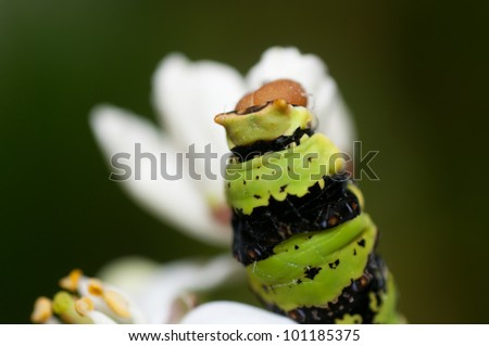 Macro picture of the head of a caterpillar, before metamorphosing to a butterfly - stock photo