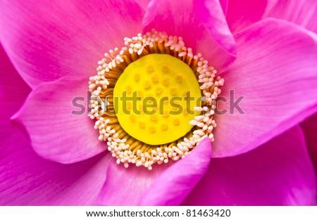 Macro Pink lotus - stock photo