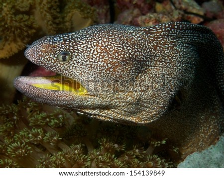 Macro portrait of a Yellow-mouthed moray eel - stock photo