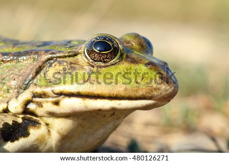 macro portrait of common marsh frog ( Pelophylax ridibundus )