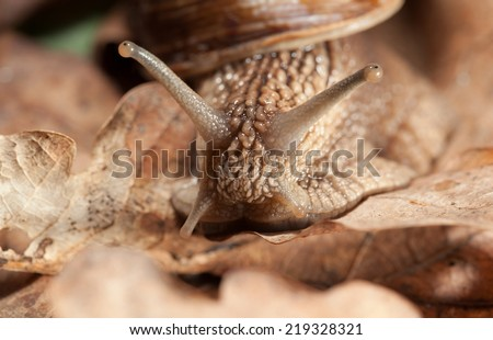 Macro portrait of Roman snail (Helix pomatia) on carpet of dry leaf in fall  - stock photo