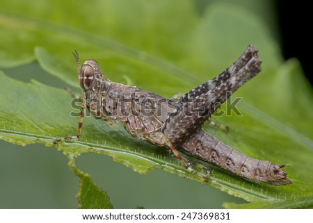 Macro profile shot of a monkey grasshopper on green leaf - stock photo