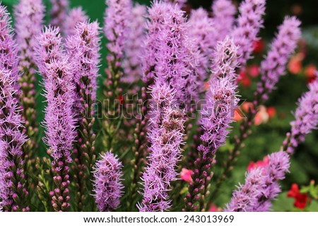 macro purple flower in garden - stock photo