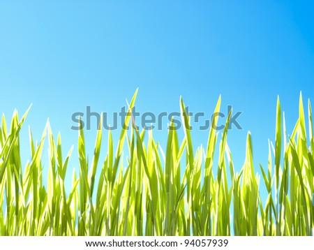 Macro rice seedlings. - stock photo