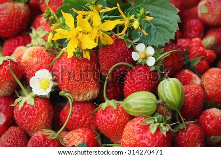 macro ripe strawberry and tutsan in the summer garden on a sunny day - stock photo
