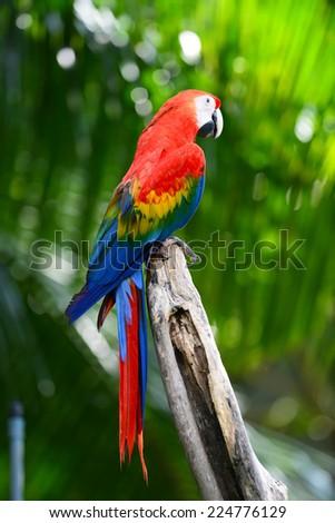 Macro Scarlet Macaw - stock photo