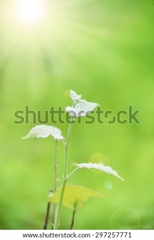 Macro several poplar leaf on the green background.The sun is shining light - stock photo