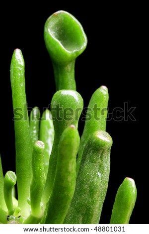macro shoot of abstract green leaves   of succulent - stock photo