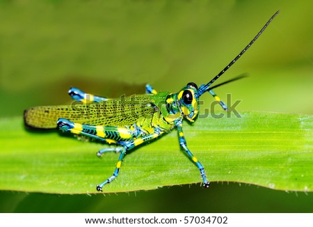 Macro shot of a beautiful Locust resting on a grass leaf - stock photo