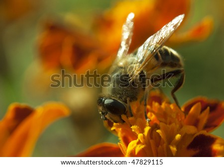 Macro shot of a bee gathering pollen on top of a red-yellow flower - stock photo