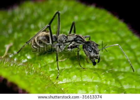 Macro shot of a black ant on green leaf
