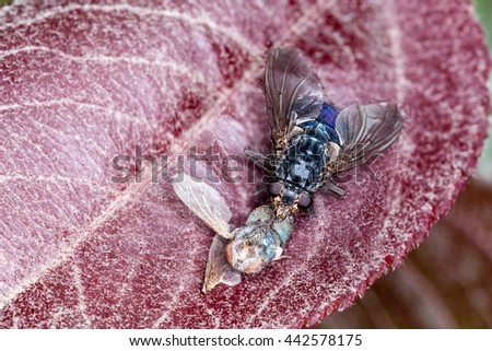 Macro shot of a Blue Bottle Fly eating a dead insect on a plant. Blue Bottle Fly eats from dead animals or meat, living animals with open wounds, animal poop, or decaying matter.