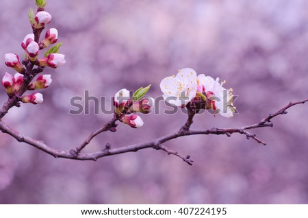 Macro shot of a branch of slightly blurred beautiful apricot flowers flowing in the wind (selective focus on the buds and flowers, shallow DOF), in the morning mist in pink tones