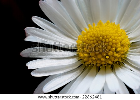 macro shot of a daisy on black background. nice for summer and spring time.