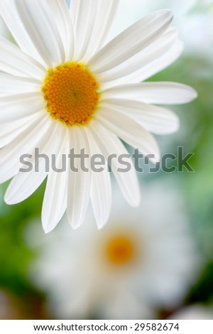 Macro shot of a daisy with selective focus and copy space - stock photo